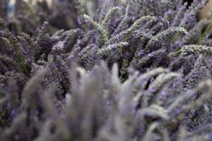 Portland-Farmers-Market_Michael-A-Muller-lavender bunches_0